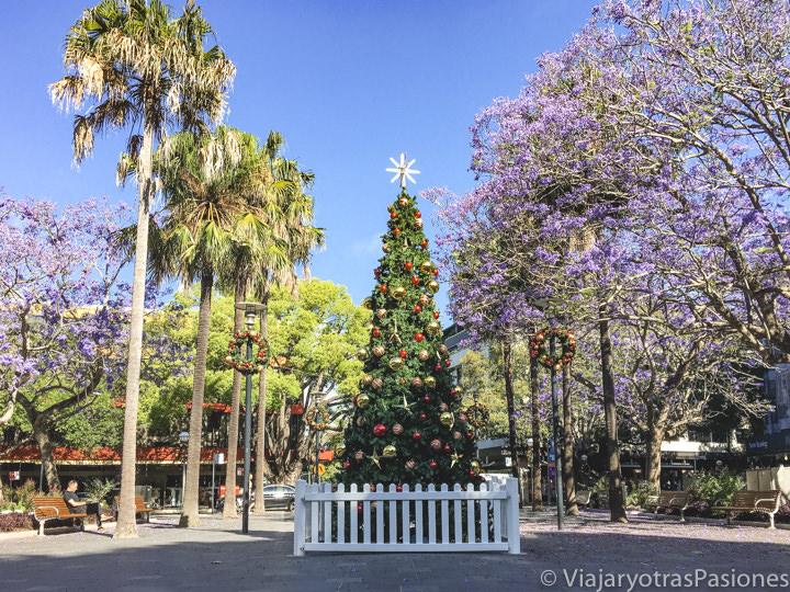 Árbol de Navidad entre las palmeras y las preciosas jacarandas por Navidad en Sydney, Australia