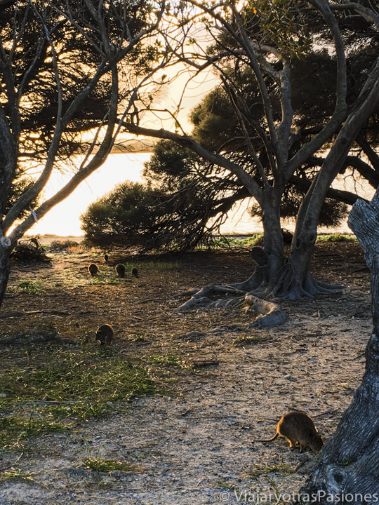 Muchos Quokkas cerca de un lago en Rottnest Island en Western Australia