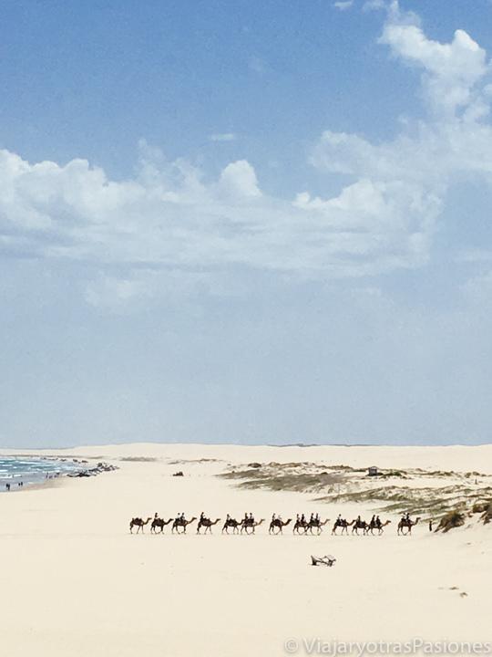 Camellos entre las dunas de Stockton en Port Stephens