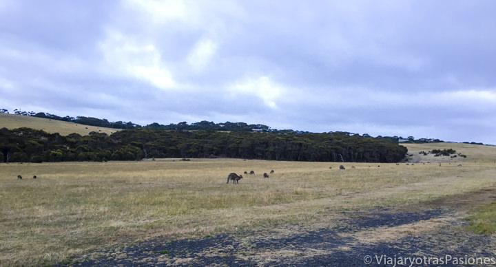 Canguros en libertad enfrente de Bells Beach en la Great Ocean Road en Australia