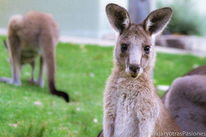 Mirando un canguro en la carretera para ir da Sydney a Melbourne, en Australia