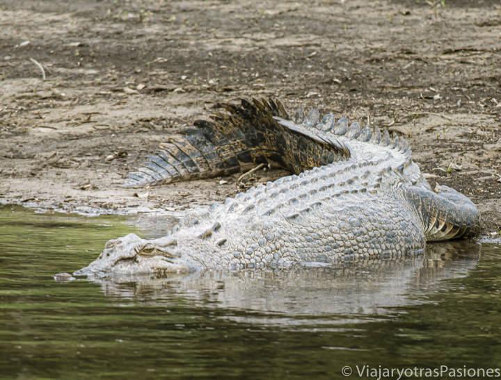 Imagen de un cocodrilo marino en el Daintree River en Queensland, Australia