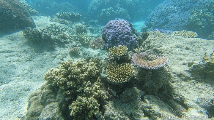 Imagen submarina de hermoso coral en la Gran Barrera en Australia