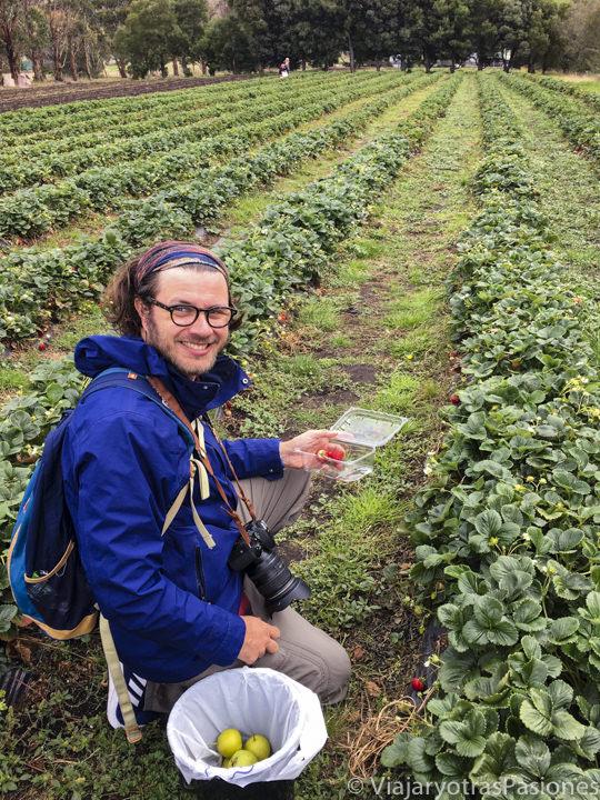 Recolectando fresas en la Sorell Fruit Farm, Tasmania