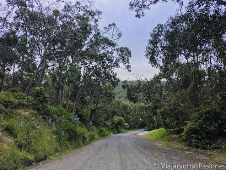 Camino donde se pueden ver koalas en Kennett River en Australia