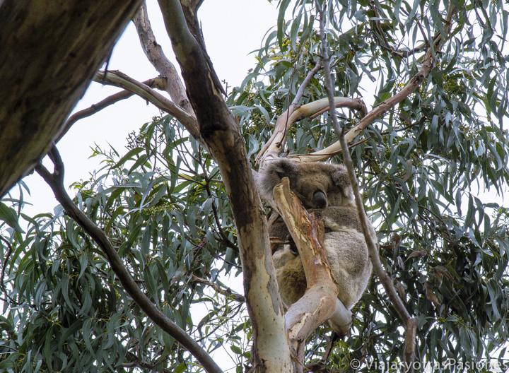 Un precioso koala durmiente en la Great Ocean Road cerca de Cape Otway en Australia