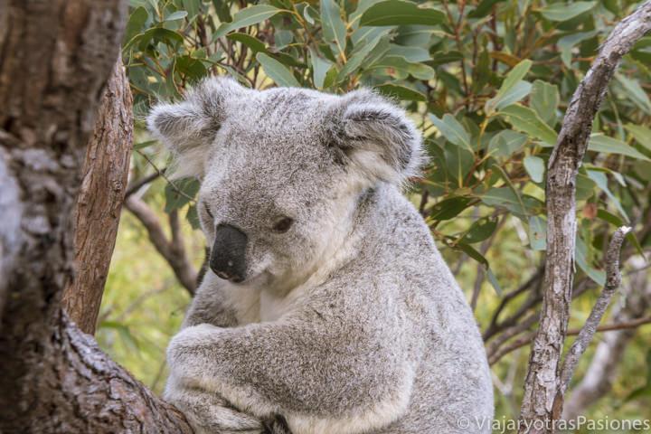 Imagen de cerca de un Koala en Magnetic Island, en Queensland, Australia
