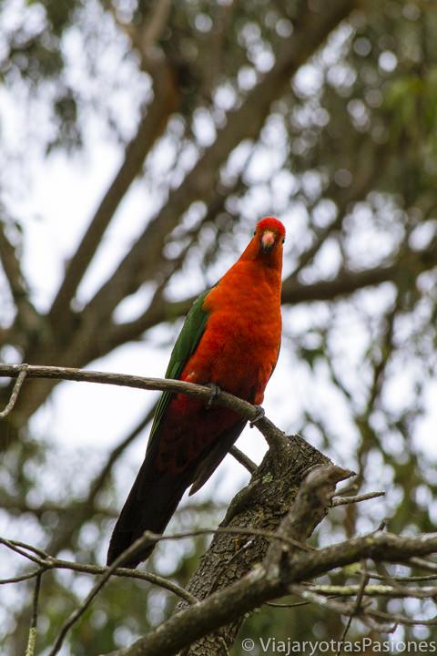 Un bonito loro rojo en la Great Ocean Road en Australia
