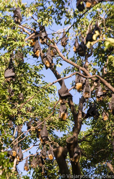Murciélagos gigantes en el centro de Cairns en Queensland, Australia