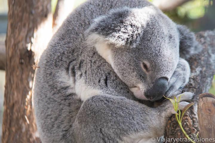Imagen de un bonito koala desde muy cerca en Port Macquarie, Australia