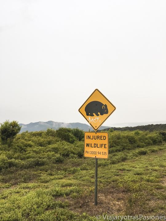Típico señal de trafico con un wombat en Victoria, Australia