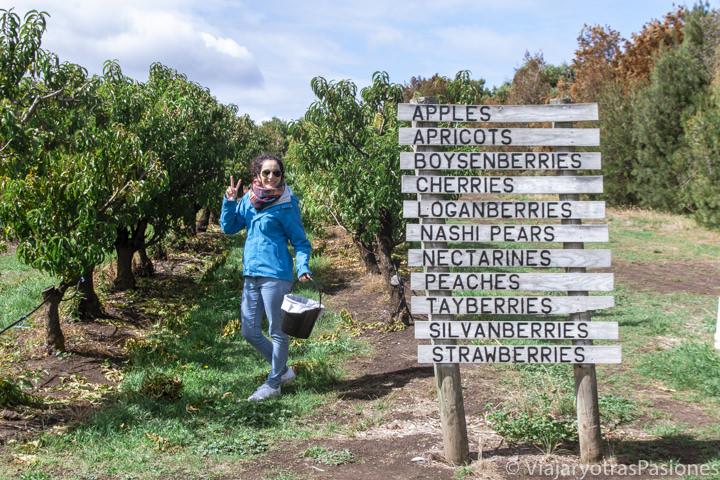 Recolectando fruta en la Sorell Fruit Farm en Tasmania, Australia