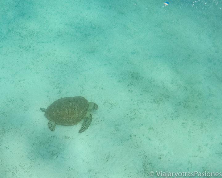 Tortuga marina en la Gran Barrera de Coral cerca de Cape Tribulation, Australia