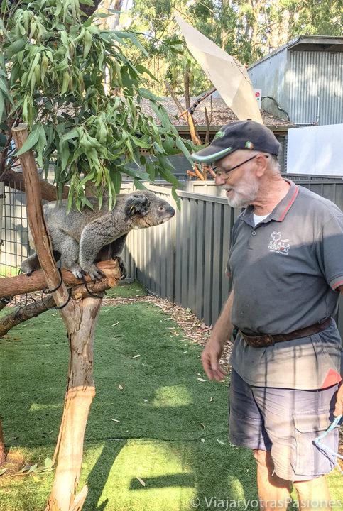 Voluntario trabajando en el Hospital de Koalas de Port Macquarie